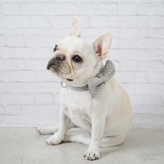 Polly, a French Bulldog Puppy, in a Pipolli Bow Tie Collar.