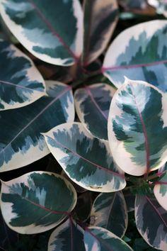 Ficus elastica 'Ruby'  //  Rubber-Plant  // The Botanical Series Art Print  //  #longwoodgardens