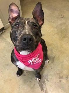 STILL LISTED-14JULY2017. Kit Kat is an adoptable Pit Bull Terrier searching for a forever family near Mansfield, OH. Kit Kat Dog • Pit Bull Terrier & Catahoula Leopard Dog • Adult • Female • Large Richland County Dog Warden Mansfield, OH #PlayinDogs
