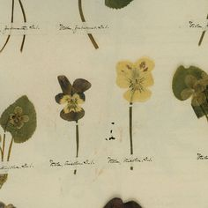 Marsh Violet and Pansy from Emily Dickinson's Herbarium