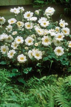 Japanese Anemone 'Whirlwind'  www.PerennialResource.com