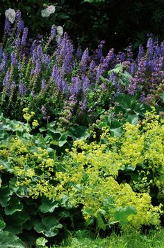 Alchemilla mollis with Salvia nemorosa; New Zealand Gardener