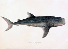 "The Whale Shark Rhinodon typicus now called Rhincodon typus Drawing from ""Illustrations of the zoology of South Africa, consisting chiefly of figures and descriptions of the objects of natural history collected during an expedition into the interior of South Africa, in the years 1834, 1835, and 1836"" by Andrew Smith"
