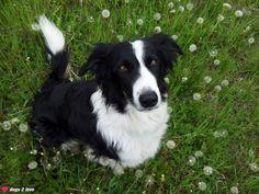 Border Collie Ronny  Ich grüße alle Hundefreunde und wünsche euch einen schönen Frühling!  Rasse: Border Collie / Name: Ronny     Mehr lesen: http://d2l.in/3p  dogs2love - Gassi gehen zum Verlieben. Partnerbörse für alle, die Hunde lieben.  Bild, Dating, Foto, Hund, Single