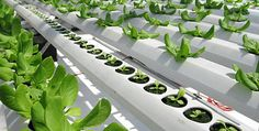 Hydroponic Farming Tips - FREE Tips, Tutorials , Information & Resouces To Help You Easily & Quickly Start Up Your Own Hydroponics Farming System Aquaponics System, Aquaponics Supplies, Farming System, Aquaponics Fish, Farming Ideas, Agriculture Durable, Urban Agriculture, Urban Farming, Hydroponic Lettuce