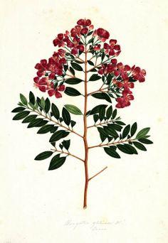 Bucguetia glutinosa. Proyecto de digitalización de los dibujos de la Real Expedición Botánica del Nuevo Reino de Granada (1783-1816), dirigida por José Celestino Mutis: www.rjb.csic.es/icones/mutis. Real Jardín Botánico-CSIC.