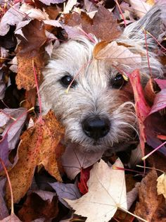Who does not like Autumn? Having looked through these wonderful photos of Cairn Terriers, you will understand that Autumn is really the GOLD time of the year. Cute Puppies, Cute Dogs, Dogs And Puppies, Doggies, Fun Dog, Cairns, Animals And Pets, Cute Animals, Cairn Terriers