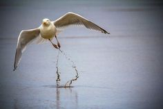 Pablo The Seagull Photo by Patrick Merminod -- National Geographic Your Shot