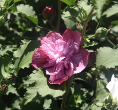 HIBISCUS syr. NOLWENN 'Kakapo' Hibiscus, Rose, Flowers, Plants, Gardens, Pink, Roses, Florals, Plant