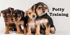 Chorkie Puppies. How To Potty Train A Chorkie Puppy. Chorkie House Training Tips. Housebreaking Chorkie Puppies Fast & Easy. Share this Pin with anyone needing to potty train a Chorkie Puppy. Click on this link to watch our FREE world-famous video at ModernPuppies.com