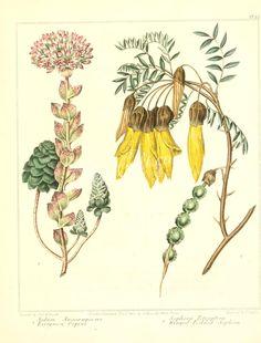 Evergreen Orpine, Winged-Podded Sophora - sedum anacampseros, sophora tetraptera      ...