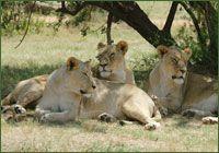 Lion Park, Johannesburg    http://www.carltonleisure.com/travel/flights/south-africa/johannesburg/cardiff/