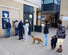 Why is there a fox please please tell me why...only in Britain do the foxes queue...