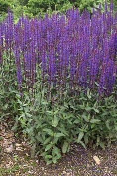 Salvia nemorosa 'Caradonna', succesnummer