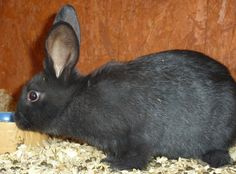 ~ Beveren Rabbit ~