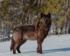Yukon Wolf