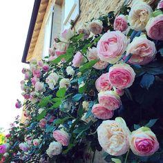 Pierre de Ronsard roses
