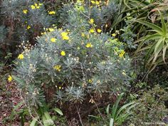Euryops pectinatus subsp. lobulatus (Golden Daisy Bush) Daisy, Tuin, Plants, Bush, Backyard