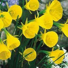Narcissi Bulbocodium Conspic - flowers March- April. 15cm tall. plant 10cm deep