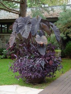 Black calocasia, a purple black leaved coleus, and moses in the cradle