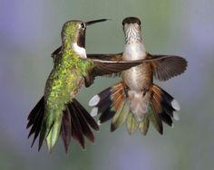 Broad-tailed hummingbirds by Jerry Goffe, via Audubon Magazine