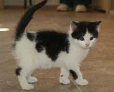 Meet Nelly a Petfinder adoptable Domestic Short Hair Cat | Frankfort, KY | Nelly is a beautiful little kitty who is full of fun and mischief. She originally came from the...