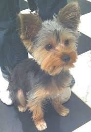 short yorkie cut - Google Search requested by Streitmatters for Abbey