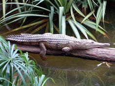 Freshwater crocodile - Wikipedia, the free encyclopedia