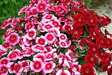 SWEET WILLIAM  A good candidate for a naturalistic garden because its nectar attracts birds, bees, and butterflies. Its flowers are considered edible.  The plant is self-seeding.  It grows to 30–75 cm tall.  Widely used in borders, rock gardens and informal country cottage style gardens