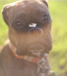 This one who takes his ring-bearing duties very seriously: | 21 Impossibly Adorable Wedding Day Dogs