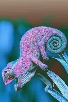 purple and green chameleon - Tiere EUT Reptiles Et Amphibiens, Cute Reptiles, Mammals, Animals And Pets, Baby Animals, Funny Animals, Cute Animals, Beautiful Creatures, Animals Beautiful