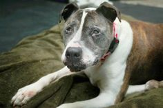 Senior Pit Bull gets second chance at life, thanks to local photographer  http://www.examiner.com/article/senior-pit-bull-gets-second-chance-at-life-thanks-to-local-photographer?CID=examiner_alerts_article