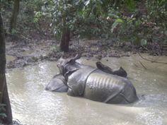 One horned rhinos, Chitwan National Park