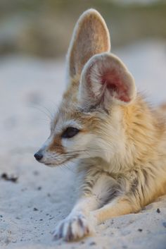 """ Fennec Fox by asbimages.co.uk """