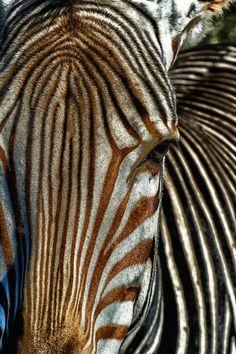 Zebra.•••••••(KO) Hey, human! Tell me the truth. Do these stripes make my butt look big?
