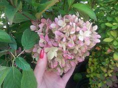 Šluotelinė hortenzija (Hydrangea paniculata)