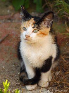 Green eyed by ~Jorapache on deviantART Pretty Cats, Beautiful Cats, Animals Beautiful, Cute Animals, Cute Cats And Kittens, Baby Cats, Kittens Cutest, Dog Cat, Cutest Animals