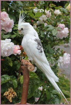 Taxidermy Cockatiel by LuxTaxidermy Rare Birds, Exotic Birds, Colorful Birds, Exotic Pets, Most Beautiful Birds, Pretty Birds, Animals And Pets, Baby Animals, Cute Animals
