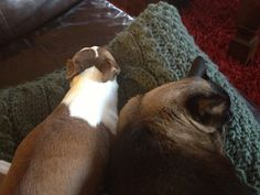 My red Boston Terrier Mary and my Siamese cat Bo Ling napping together.