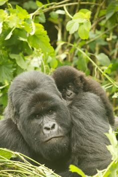 With the help of dedicated wildlife rangers, comprehensive monitoring, and community education programs, the endangered gorilla population in the Virungas experienced a nearly 20 percent increase in the early 2000s. But in 2007, at least ten gorillas in Virunga National Park were lost to murder and chaos. (Source, Nat Geo) #TOMSAnimalInitiative http://toms.sh/1hKj23U