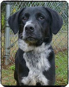 Act quickly to adopt INDIANA JONES. Pets at this Shelter may be held for only a short time.Marietta, GA - Labrador Retriever Mix. Meet INDIANA JONES a Dog for Adoption.