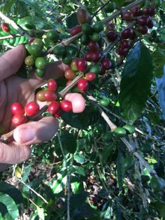 Antioxidant-Rich Coffee Fruit