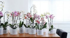 How to make a Phalaenopsis Orchid to bloom? Mini Plants, Cool Plants, Phalaenopsis Orchid, Orchids, Ideas Prácticas, Garden Trees, Hanging Plants, Go Green, Shrubs