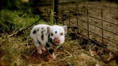 WEE mini PIGGY FARM & COMPANY (micro-juliana pigs) - YOUR MINI PIG CARE AND SO MUCH MORE. PLEASE READ --------- THIS PAGE HAS VALUABLE INFORMATION THAT YOU NEED TO KNOW.