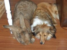 Flemish Giant bunny and Sheltie cuddle. I love them both. But a huge part of me really needs the Flemish Giant!
