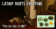 Catnip Hurts Everyone Catnip buds: The most potent form of catnip. Catnip Plant, Bud, It Hurts, Essential Oils, Pure Products, Anonymous, Kitty, Leaves, Kitten