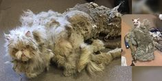 A nine year old Persian cat was found covered in five pounds of matted fur that looked like he was dragging a carpet. His name is Sinbad.   Courtesy: Elliott Serrano When Sinbad the cat came to The Anti-Cruelty Society (in Chicago), the shelter staff was shocked by the amount of matted fur accum...