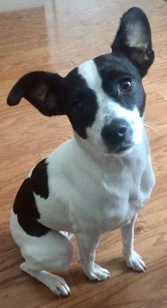 Rat Terrier Puppies, Terrier Mix Breeds, Cairn Terrier Mix, Terrier Rescue, Rat Terriers, Pitbull Terrier, Wheaten Terrier, Border Terrier, Boston Terrier