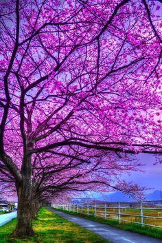 ¿Es el camino de la cereza, Japón
