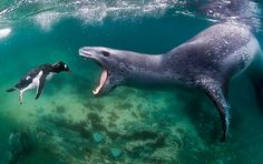 A Leopard Seal Attack..and one very depressed penguin